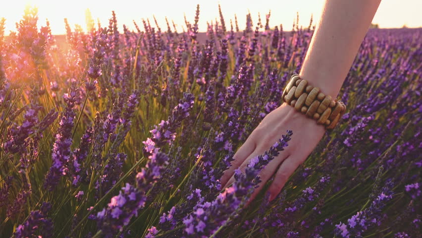 Close-up of woman's hand running through sunny lavender field. Lens flare. SLOW MOTION 120 fps. Girl's hand touching purple lavender flowers. Plateau du Valensole, Provence, South France, Europe.