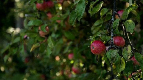 Apple plucking, hand picking apples. Red apples tree branches  in summer garden and man's hand