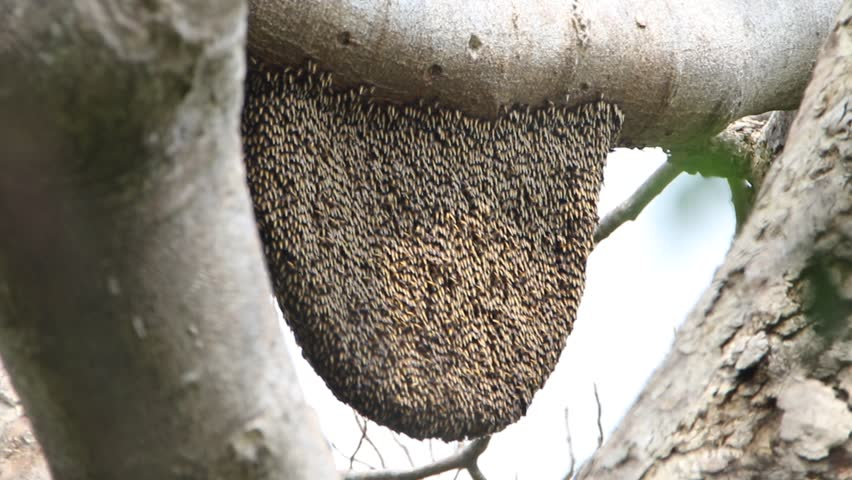 Bees are classified as invertebrates. R. Thomas could phylum arthropods. The insect species live together in groups. Most of the food is nectar from flowers.