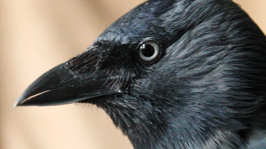 Header of jackdaw
