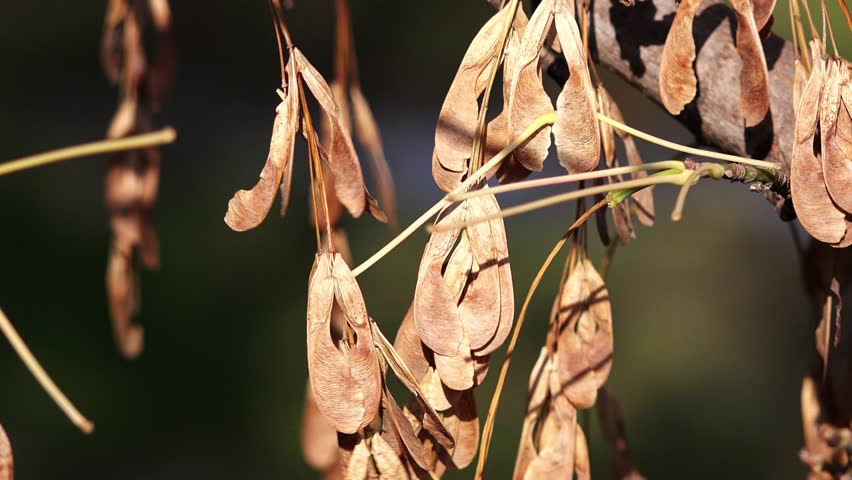 Seeds of maple swaying and trembling on breeze,zoom out, 4k, UHD | Shutterstock HD Video #25054661