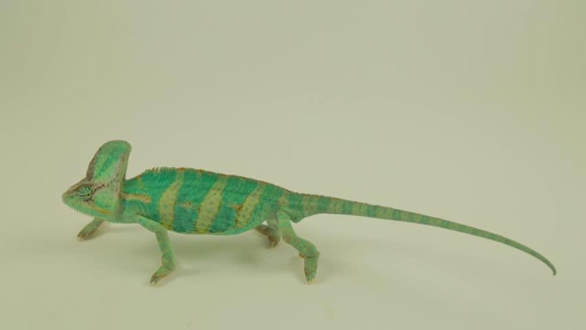 Funny male green chameleon on white background (chamaeleonidae)
