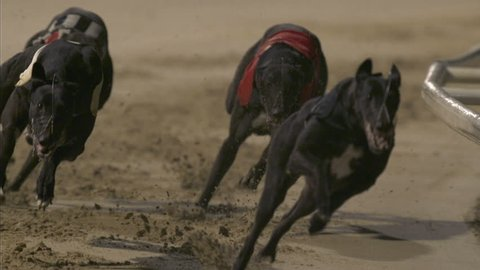 Head on view of greyhounds racing round bend. high-speed