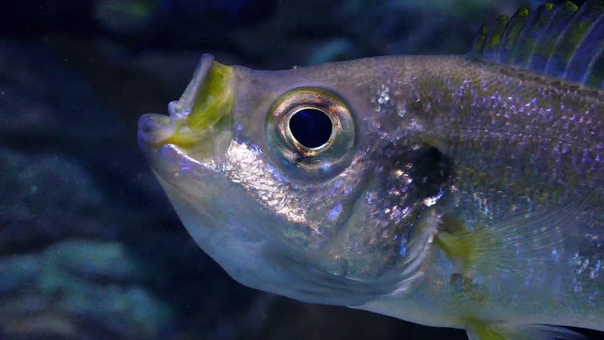 Closeup Of Fish Gulping