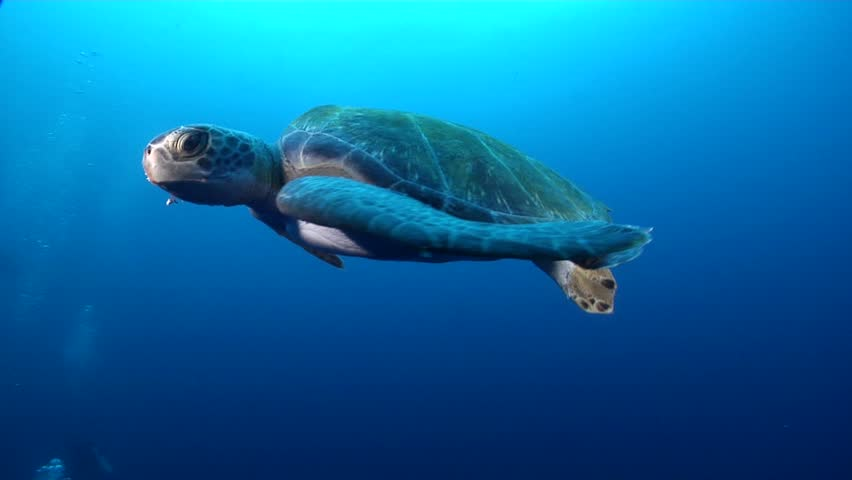 Galapagos green turtle (Chelonia mydas agassisi) swimming underwater in Ecuador