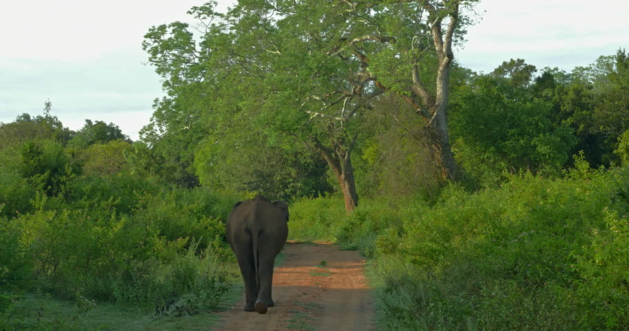 Rear bottom view of elephant walks away on middle of road in wilderness of nature reserve of Yala national park in Sri Lanka. Beautiful nature landscape background