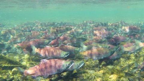 Kokanee salmon (Oncorhynchus Nerka) running in a creek during spawning season