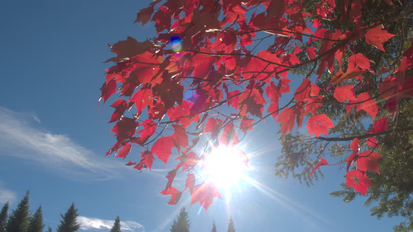 CLOSE UP: Sunbeams shining through red maple tree fall foliage leaves on small branch swinging in the wind against clear blue sky. Spruce treetops piercing the skies on sunny autumn day in Canada