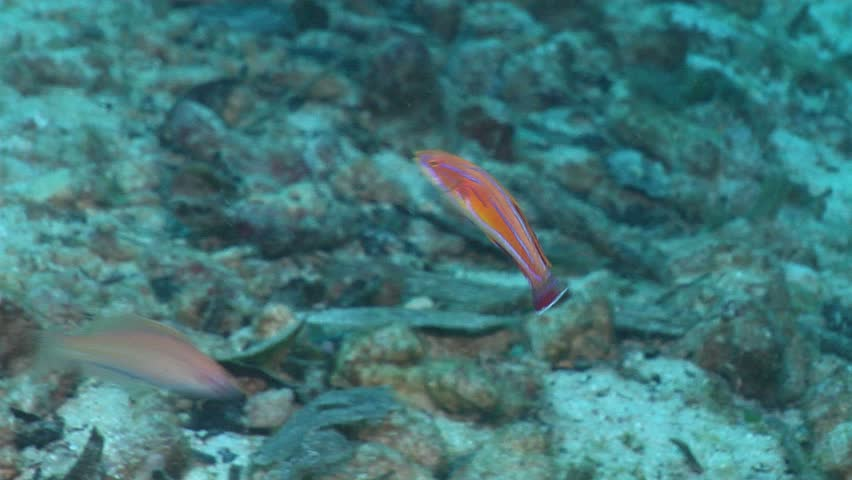 Unidentified flasher-wrasse (Paracheilinus sp. 2) flashing underwater in Solomon Islands