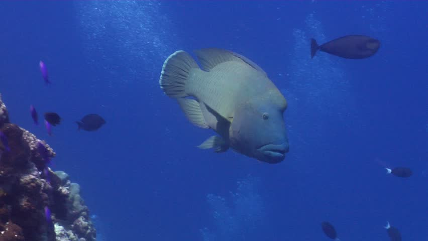 Male adult Humphead maori wrasse (Cheilinus undulatus) swimming underwater in Australia