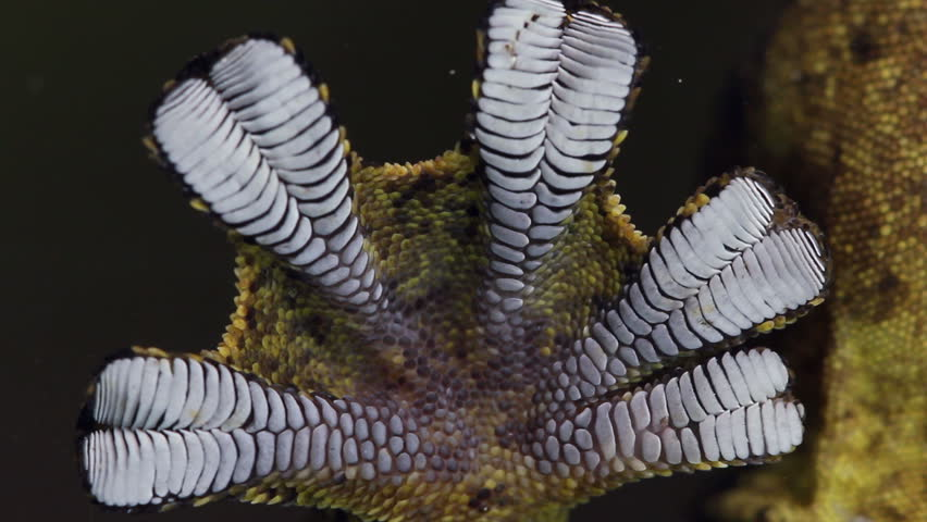 Turnip tailed gecko (Thecadactylus solimoensis) Underside of sticky feet viewed while climbing on glass