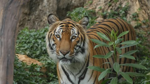 Scary looking male royal bengal tiger staring towards of you from inside the jungle