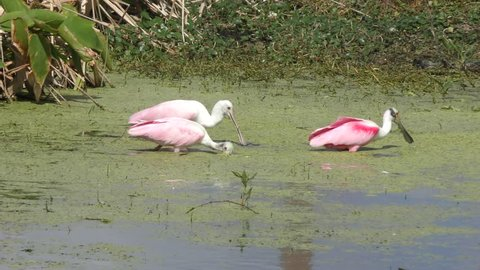 Roseate Spoonbills feeding in the swamp