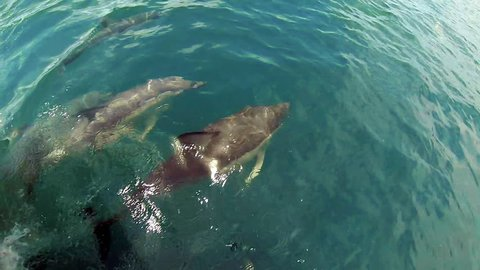 New Zealand dolphins playing in bow wave. GoPro footage of a pod of Common Dolphins swimming and playing and bumping each other, filmed in the Bay of Islands, New Zealand. Slow motion (half-speed).