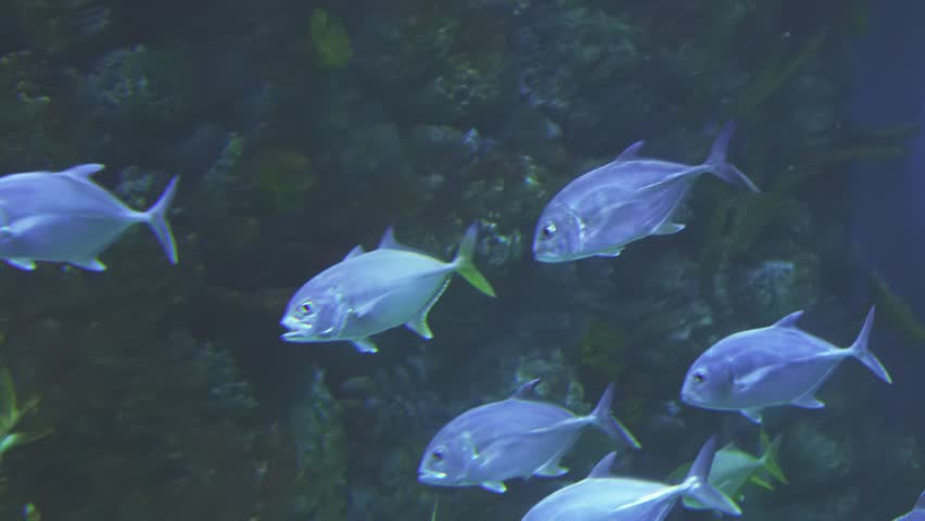 Thunnus in the saltwater aquarium stock footage video | Shutterstock HD Video #25366514