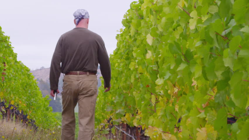winemaker walks vineyard checking grapes