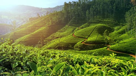 Beautiful tea plantation landscape of green valleys under morning sun. Sri Lanka
