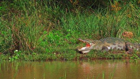 Mugger crocodile on lake bank near water edge. Wildlife safari nature landscape. Visiting national parks of Sri Lanka
