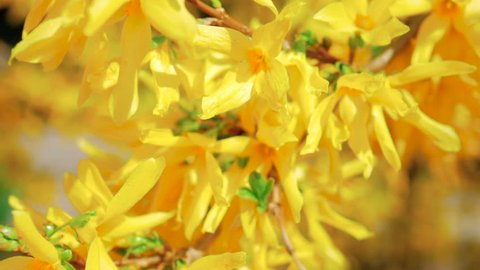 Forsythia yellow flowers blooming in early spring. Weeping forsythia (Forsythia suspensa). Spring mood with gold blossoms.
