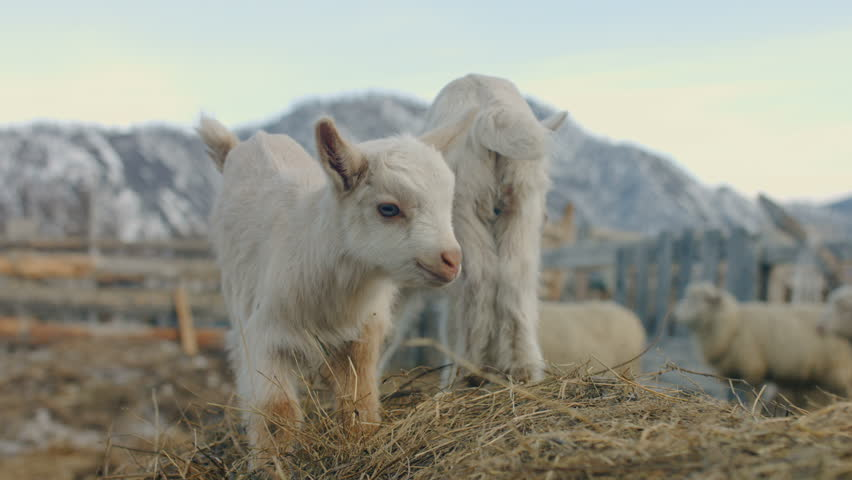 Newborn goats on the farm