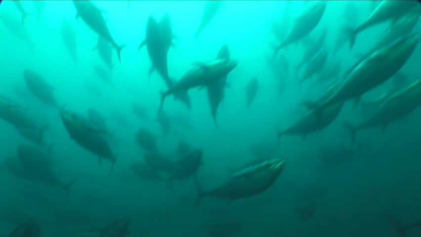 School of tuna fish underwater yelllow fin blue fin  | Shutterstock HD Video #25584575