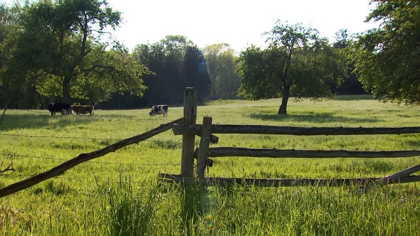 Cows grazing in pasture with split rail fencing