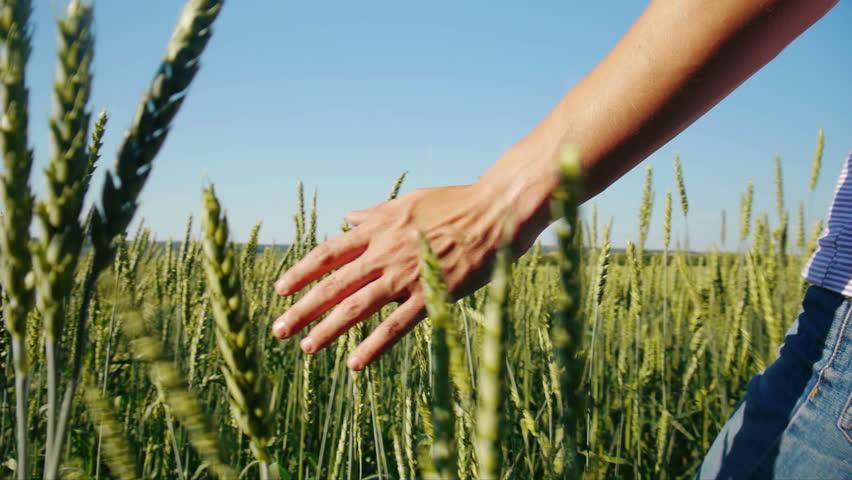 Male hand touching wheat in summer  field  | Shutterstock HD Video #2563934