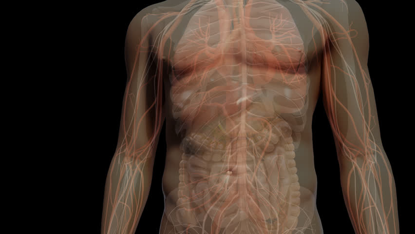 Fly through chest to rapid beating heart in a transparent human body with associated blood vessels & other organs inside thorax of CG anatomical model visualization