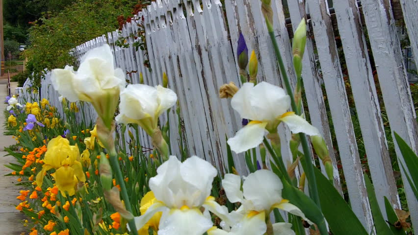 An Old White Picket Fence With Ling Paint And Flowers In A Small Town The United States Of America Heralds Arrival Spring