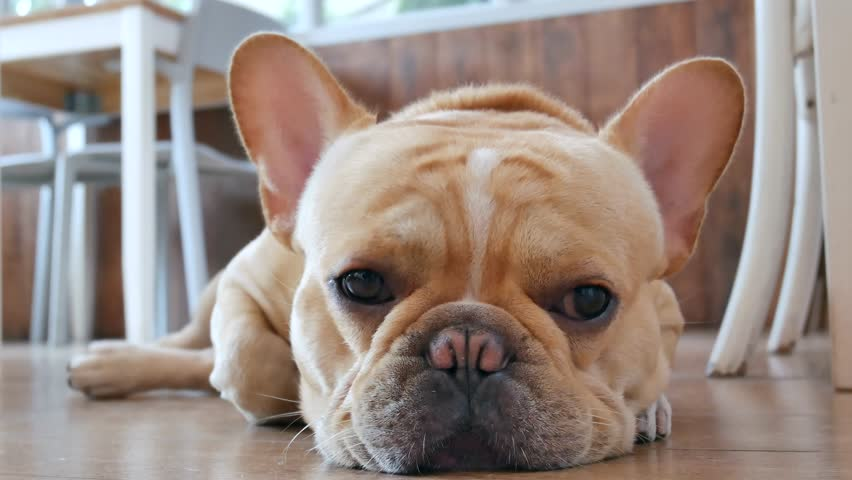 Close up sleepy French bulldog lying on the floor.