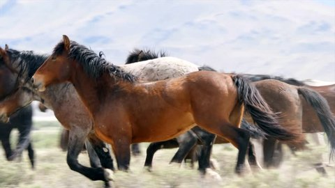 A beautiful slow motion shot of wild horses fighting and running in the West Desert in Utah