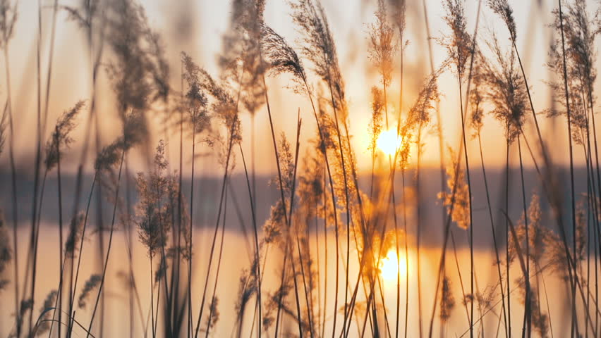 Reeds on dawn in early spring. Landscape with sun and water. Smooth movement. Natural spring background.