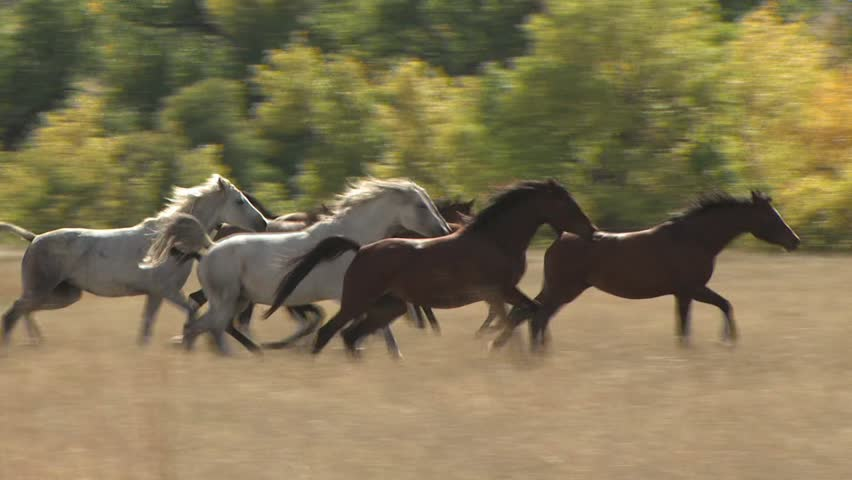 A Stampede Of Horses Gallops Through A Field | Shutterstock HD Video #2583212