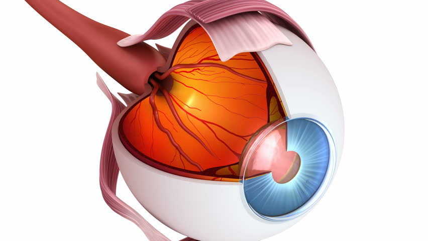 Eye Anatomy Inner Structure Stock Footage Video 100 Royalty