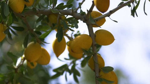 Argan oil for cosmetics for a healthy lifestyle. Ecology in industry