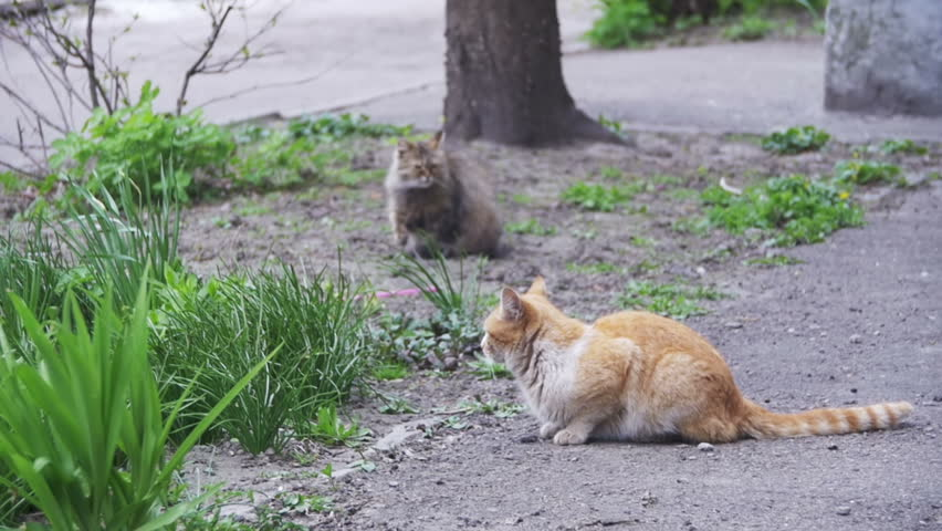 Two Red and Gray Homeless Cats on the Street in the Park. Slow Motion in 96 fps. Two Stray gray, and red cats sitting on the ground in the City Street.