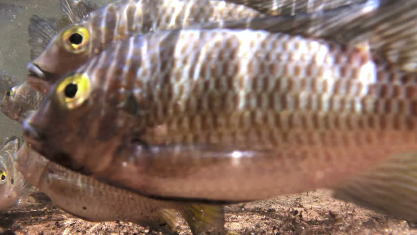 Tilapia fishes in their natural freshwater