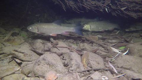 Chub (Leuciscus cephalus) freshwater fish in the beautiful clean creek. Live in the river. Underwater video of swimming chub.