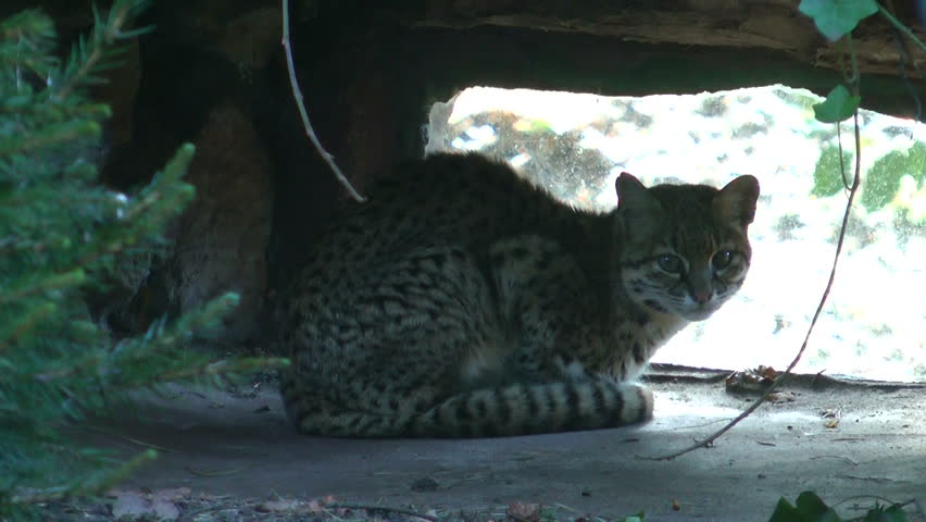 South American cat in a European Zoo. Clip is 11 seconds long.