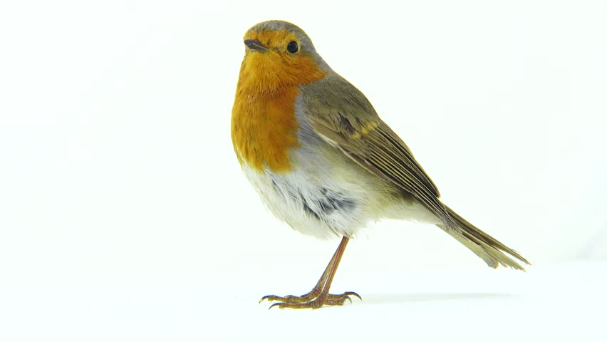 Robin isolated on a white background | Shutterstock HD Video #26102654