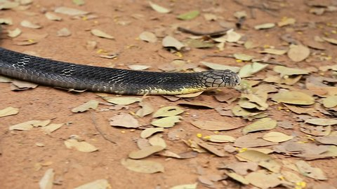 King Cobra is crawling on the ground.