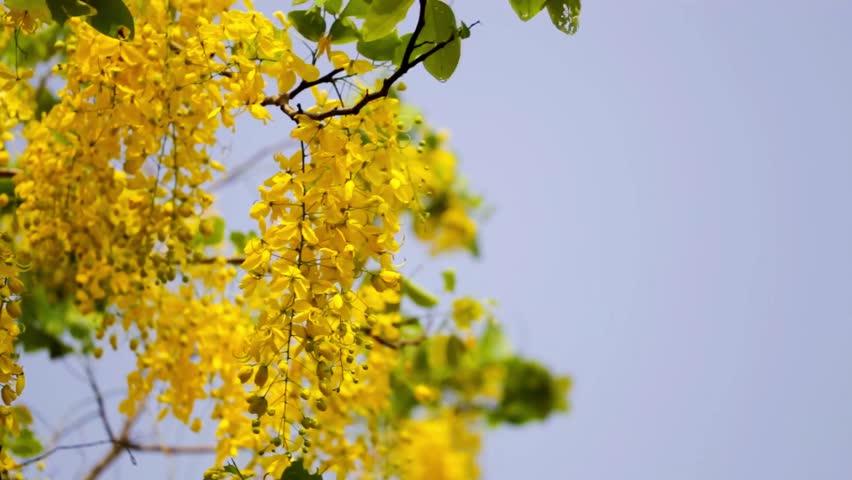 Thailand's national flower Cassia fistula (Golden shower) or scientific name is Cassia fistula Cassia fistula.