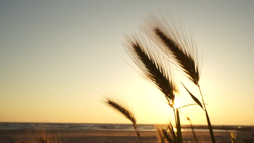 Sunset at the Adriatic sea in Albania close to Durres. Several silhouettes of wild grass similar to wheat or rye on the yellow background of the setting sun moving fast in the wind.