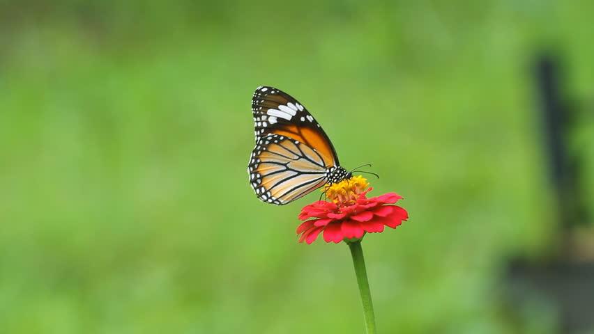 Butterfly eating pollen Zinnia flower #2619764