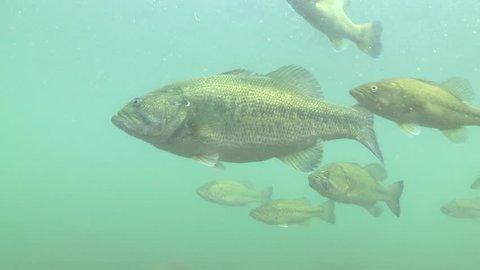 largemouth bass fish underwater in lake,Flock