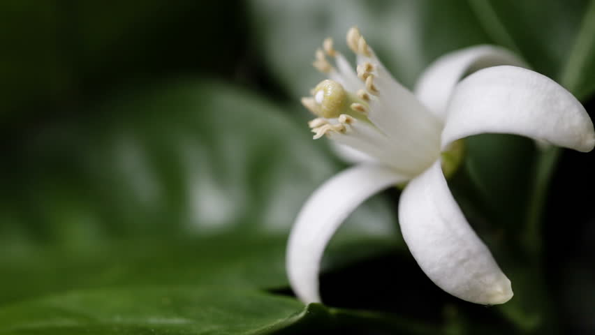 White Orange Blossom gently moving with the breeze. Extreme close-up macro with a view of the flower anatomy.