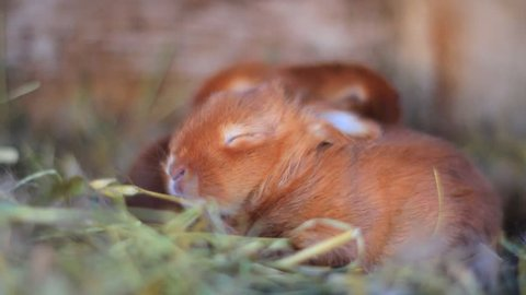 little red bunny sleeps in a nest/little red bunny sleeps in a nest