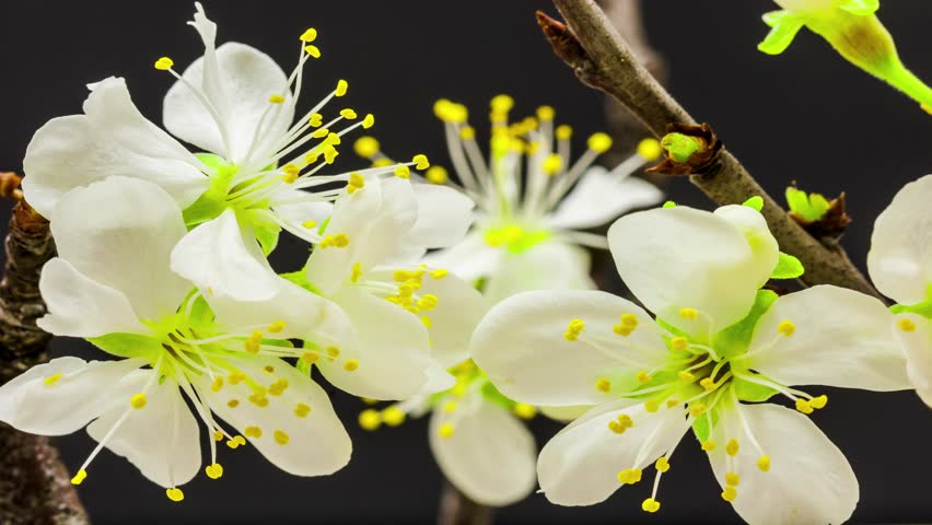 4K macro time lapse of a beautiful plum flower tree growing on a black background/ Plum flower blossoming macro time lapse