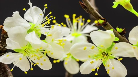 4K macro time lapse of a beautiful plum flower tree growing on a black background/Plum flower blossoming macro time lapse