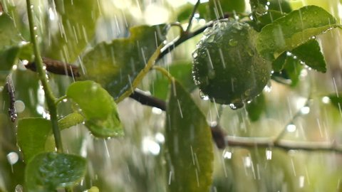 Falling rain in lemon plant Slow motion